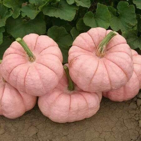pinkpumpkins